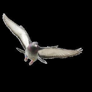 pigeon 11