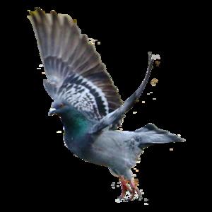 pigeon 14