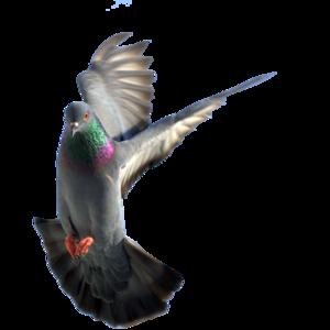 pigeon 16