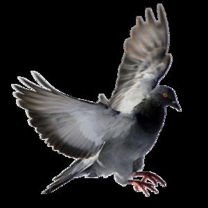pigeon 18