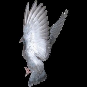 pigeon 19