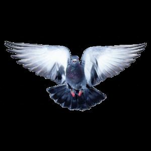 pigeon 8