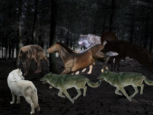A Pack of 狼 work together Attacking and Taking Down an Horse