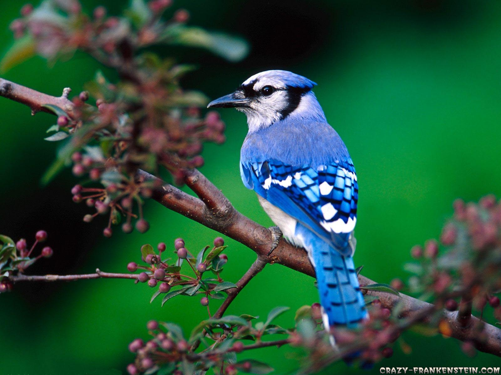blue jay wallpaper  Blue Jays images Blue Jay HD wallpaper and background photos (39433261)
