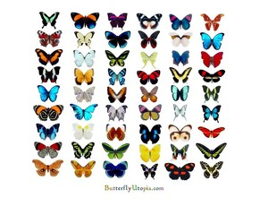 butterfly, kipepeo Chart