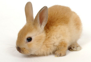 Cute Red Bunny