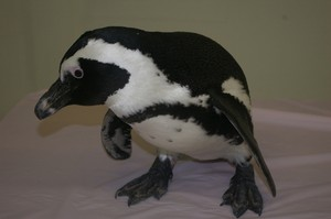 Elvis the African penguin