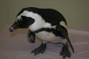 Elvis the African पेंगुइन