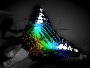 Fluorescent butterfly, kipepeo