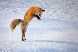 rubah, fox Jumping in the snow