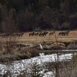 Elk on The River