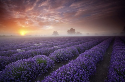 Earth planet wallpaper possibly with a sunset entitled Lavender fields, UK