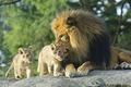 Lions - lions fan art