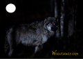 Night Wolf - wolves photo