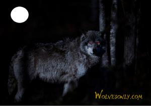 Night serigala