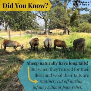 ovelha, ovelhas Fact