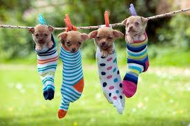 袜子 小狗