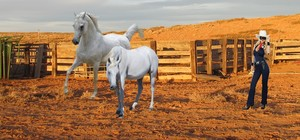 The Lone Rider bring in a Beautiful White mustango, mustang Mare with her corcel, steed Storm Racer
