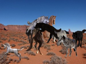 The Pack of Grey Mbwa mwitu loups attacked an Wild mustang Mare and her White mtoto, foal
