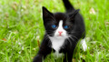 Tuxedo Kitten - cats wallpaper