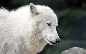 this is a stuning wolf