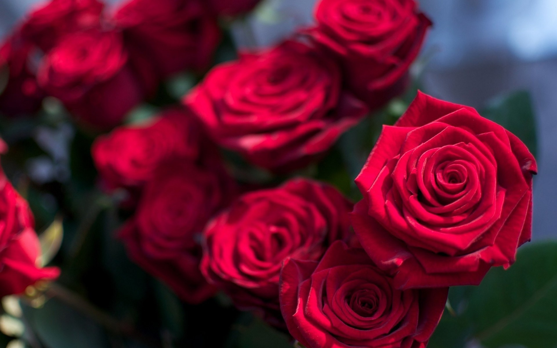 Roses Images Beautiful Roses Hd Wallpaper And Background Photos