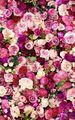 Flowers || Rose - flowers photo