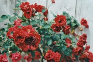 flores || Rose