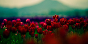 फूल || Rose