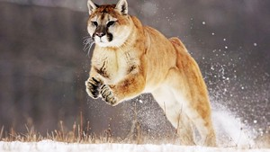 cat beautiful cougar jump snow animals ultra 3840x2160 hd achtergrond 215192