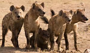 hyenapack4