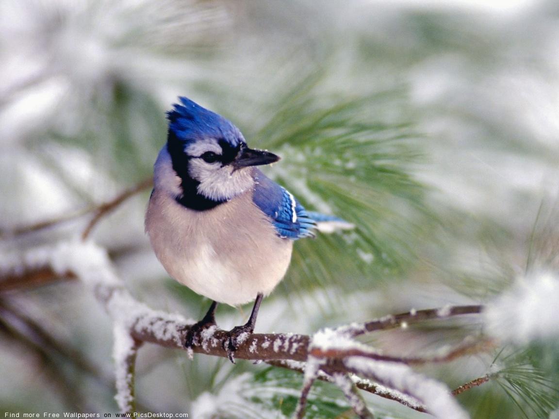 Blue Jays Hình Nền With A Chim Giẻ Cùi, Jay Entitled Blue Chim Giẻ Cùi