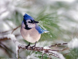 Blue gaio, jay on a Branch
