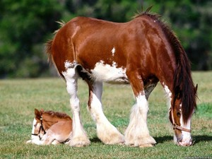 Clydesdale and Foal