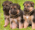German Shepherd Puppies - puppies photo