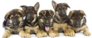 German Shepherd chó con