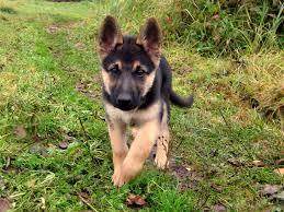 German Shepherd cucciolo