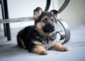 German Shepherd Puppy - puppies photo