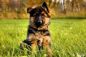 German Shepherd cún yêu, con chó con