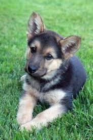 German Shepherd کتے