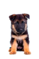 German Sherpherd Puppy  - puppies photo