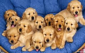 Golden Retriever chó con