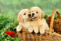 Golden Retriever Puppies - puppies photo