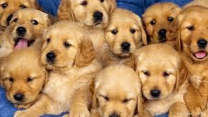 Golden Retriever Cuccioli