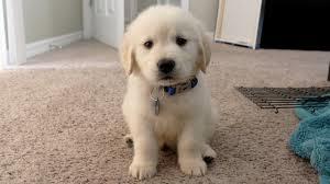 Golden Retriever cún yêu, con chó con