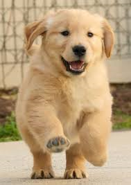Golden Retriever tuta