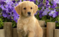 Golden Retriever Puppy - puppies photo
