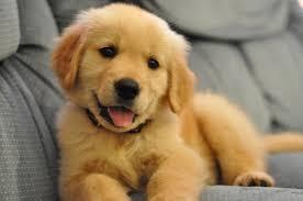 Golden Retriever कुत्ते का बच्चा, पिल्ला
