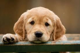 Golden Retriever کتے