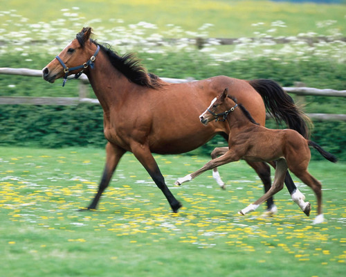 Horses wallpaper probably with a steeplechaser, a bay, and a chestnut entitled Mare and Foal